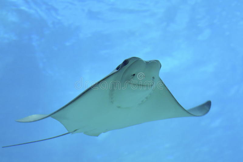 Cownose Ray. Swimming in an aquarium royalty free stock image