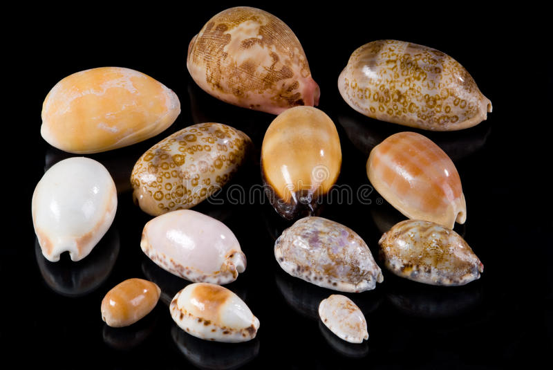Cowrie Seashells Royalty Free Stock Photography