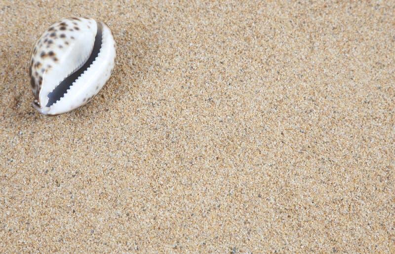 Cowrie Shell en la arena fotografía de archivo