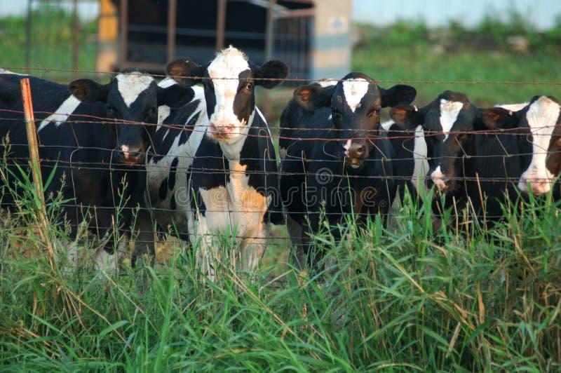 cows любознательная стоковое изображение rf