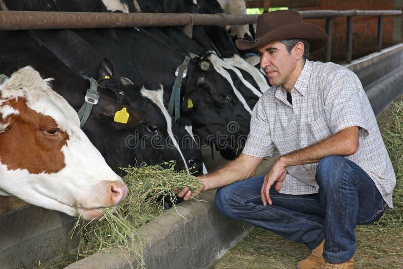 cows подавать хуторянина стоковая фотография rf