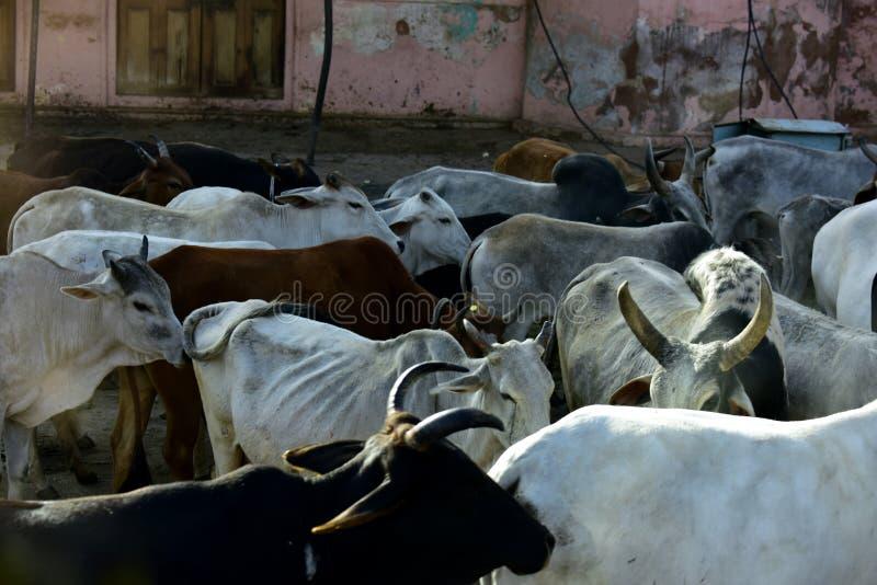 cows святейшее стоковое изображение