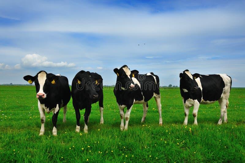 cows сельскохозяйственне угодье стоковое изображение