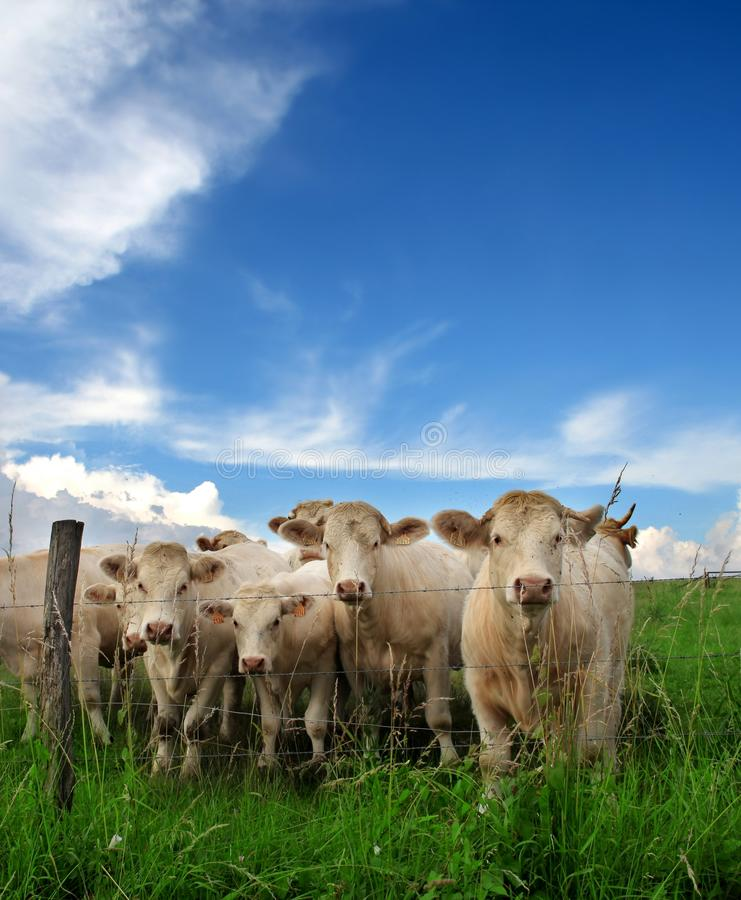 Download Cows stock image. Image of pastoral, farmland, grazing - 10012809
