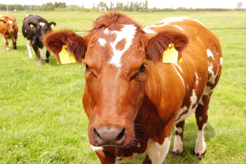 Download Cows Royalty Free Stock Image - Image: 10439246