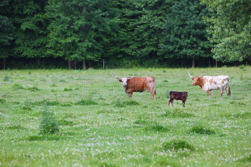 Download Cows stock image. Image of agronomy, leather, field, farm - 15299885