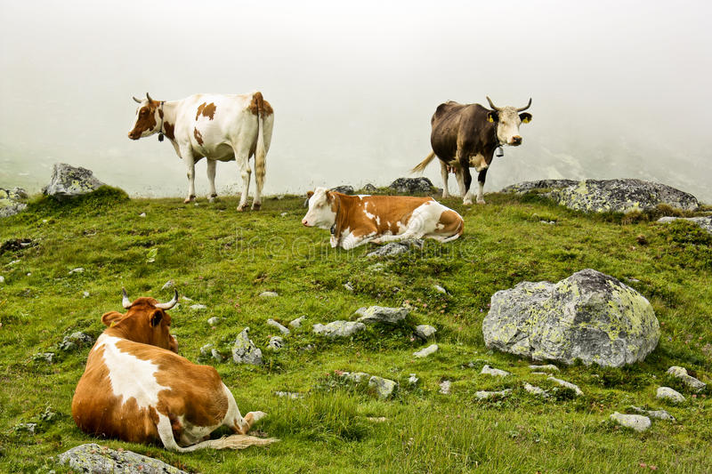 Download Cows stock image. Image of animals, fields, bovinae, nature - 15337939