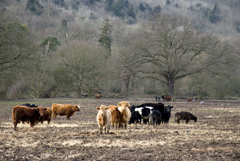 Download Cows Stock Photos - Image: 1964403