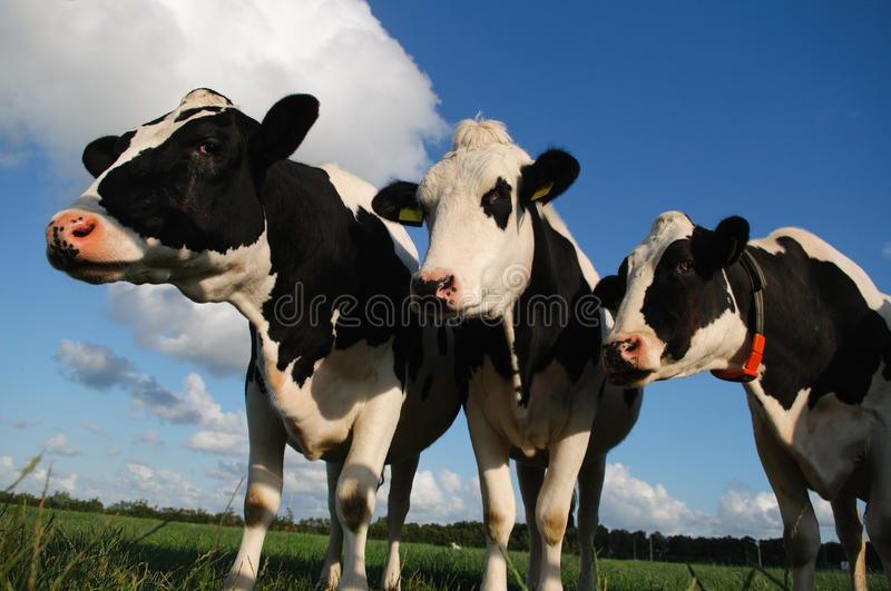 Download Cows stock photo. Image of animals, grass, close, farming - 20127590