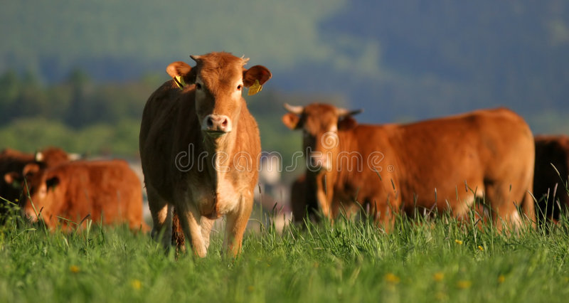 Download Cows stock image. Image of mammal, green, horns, grass - 2202553