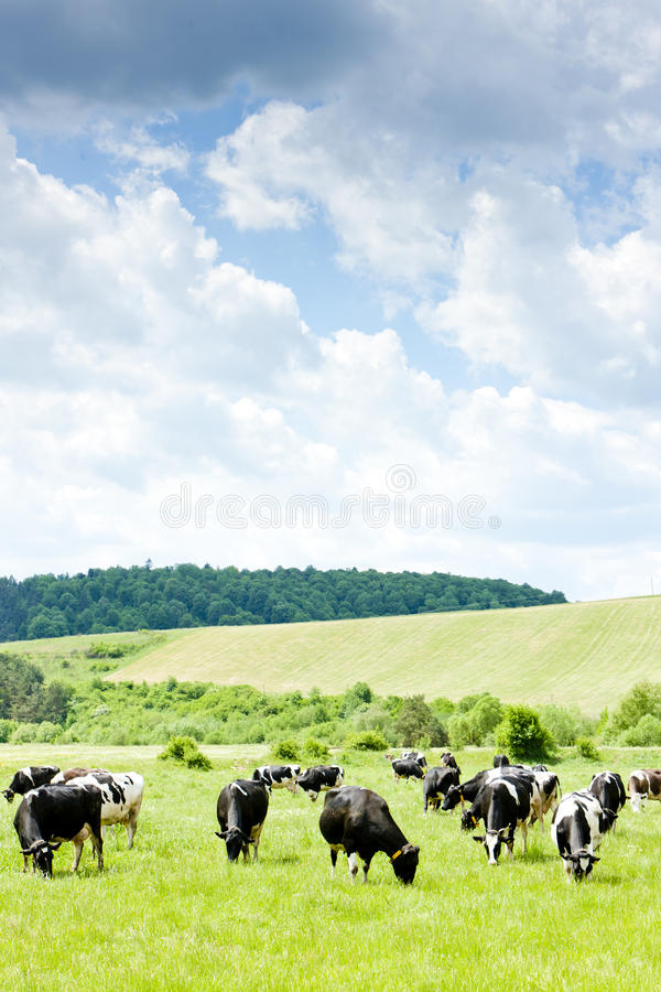 Download Cows stock photo. Image of farming, agronomy, slovakia - 22764380