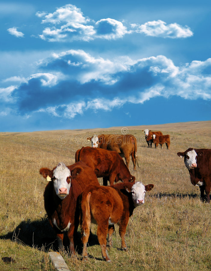 Cows. In field