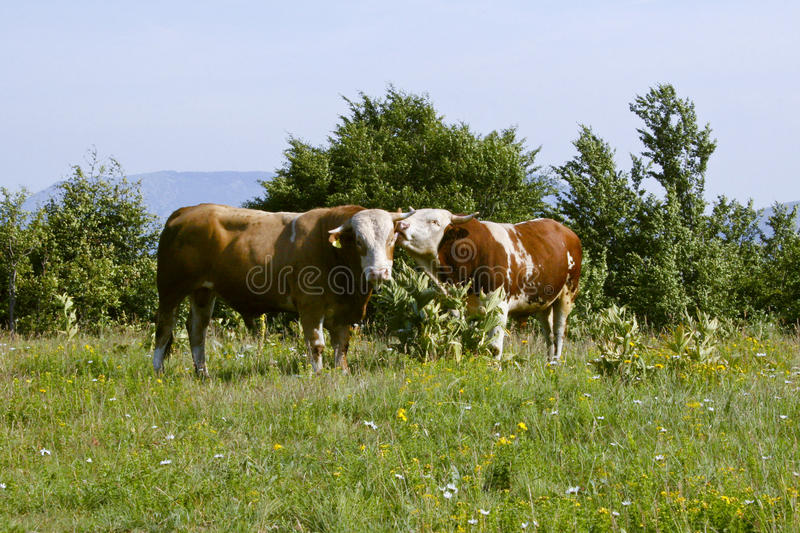 Download Cows stock photo. Image of bull, farmland, cows, domestic - 25015312