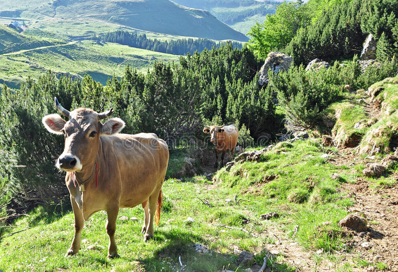Download Cows stock photo. Image of nature, fields, green, mountains - 25529148