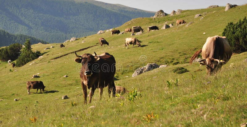 Download Cows stock image. Image of hillside, animals, meadows - 25915359