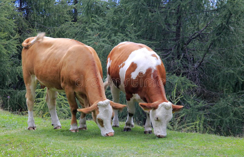 Download Cows stock photo. Image of beef, mammal, milk, bull, farm - 26004916