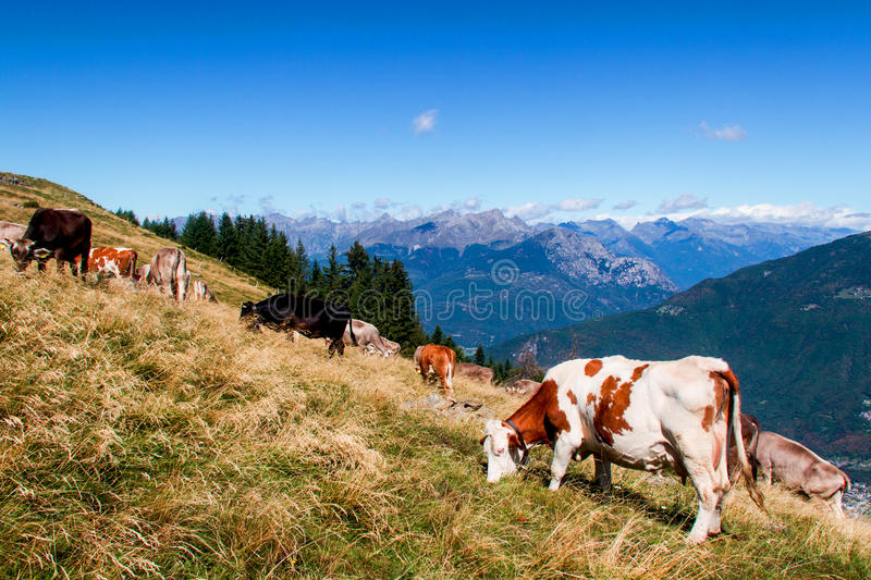 Download Cows stock photo. Image of agriculture, graze, herd, livestock - 26333450