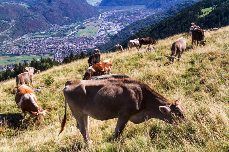 Download Cows stock image. Image of agriculture, pasture, ruminanta - 26341795