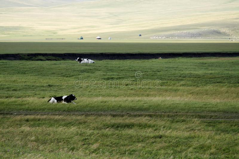 Download Cows Royalty Free Stock Images - Image: 27176679