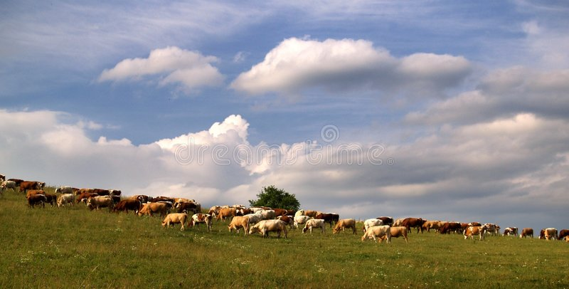 Cows. On meadow in Slovakia royalty free stock photography