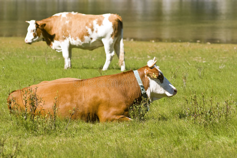 Cows. Two cows, one standing and one sit on the grass near - Lakes of Fusine - Italy 2007 stock images