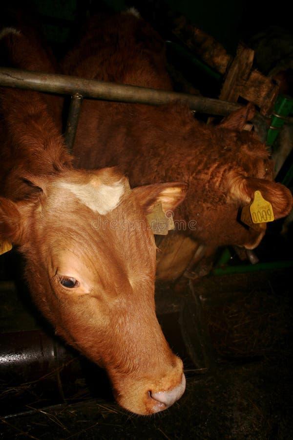 Free Cows Royalty Free Stock Photos - 4400628