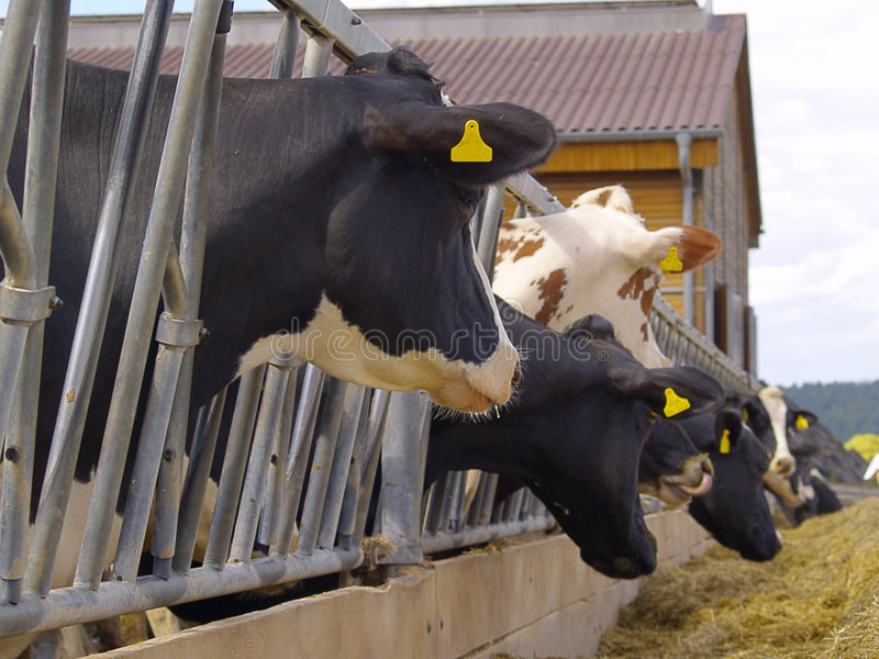 Download Cows stock photo. Image of barn, silage, cattle, dairy - 7409218