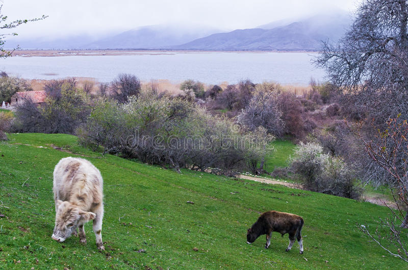 Cows in Agios Achilios island in Small Prespa lake, Florina, Greece. Cows in Agios Achilios island in Small Prespa lake, Greece royalty free stock photography