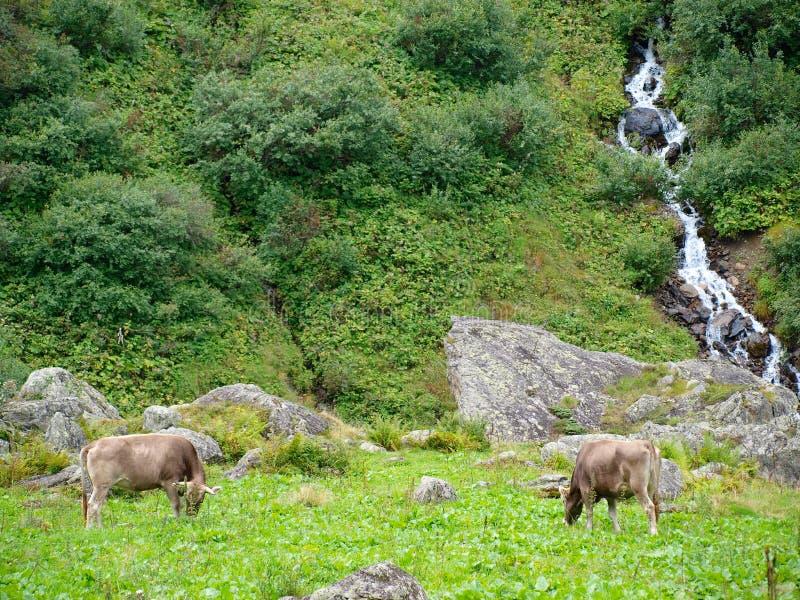 Cows on alpine glacier mountain in Switzerland royalty free stock photos