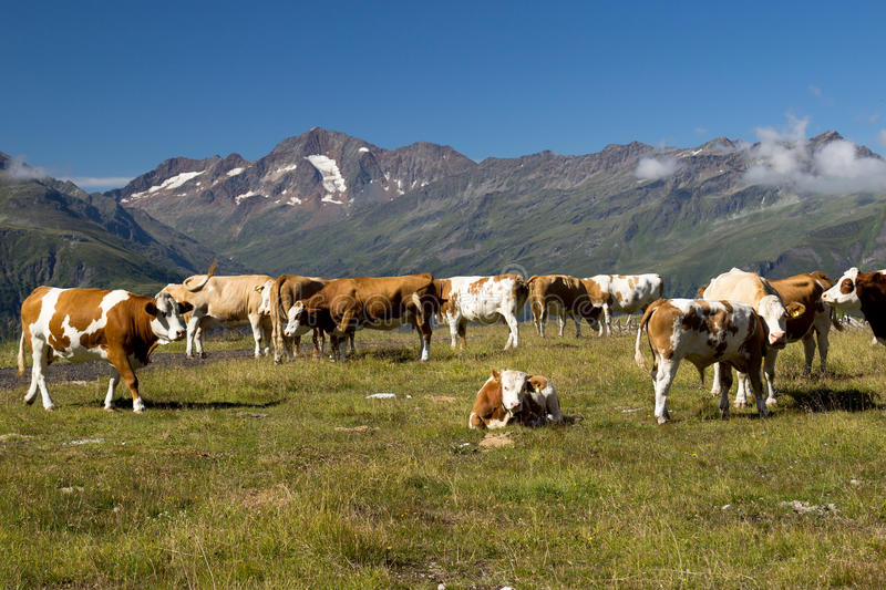 Cows on the Alpine meadow royalty free stock photography