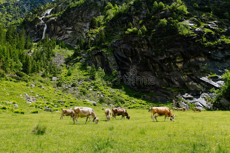Download Cows on the alpine meadows stock image. Image of field - 83718197