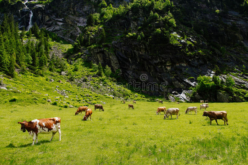 Download Cows On The Alpine Meadows Stock Photo - Image: 83718200