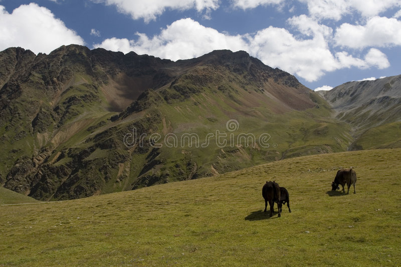 Download Cows In Alps Royalty Free Stock Images - Image: 7604049