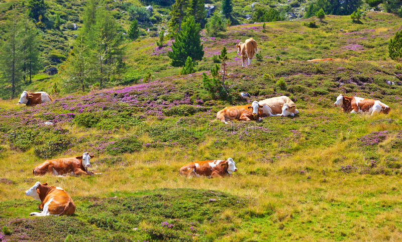 Download Cows stock photo. Image of alps, countryside, cows, domestic - 30554264