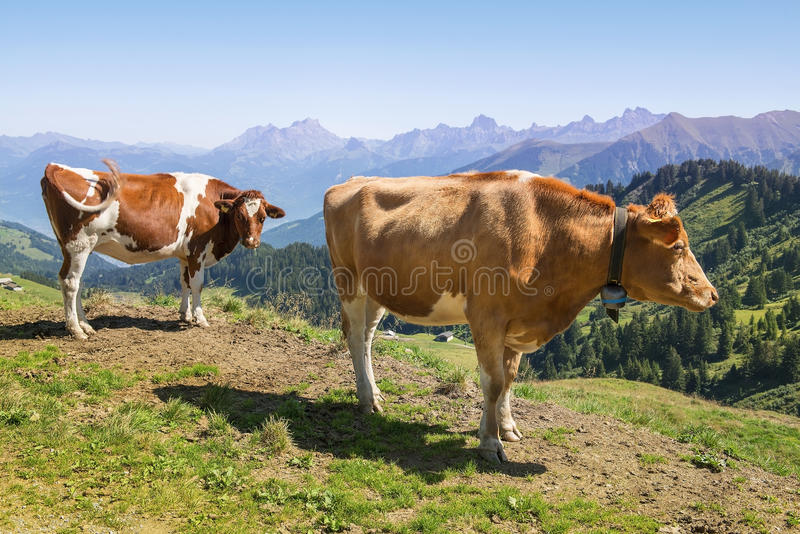 Cows in Alps, Switzerland royalty free stock photography