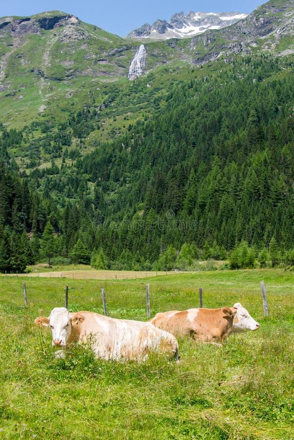 Cows in the Alps stock photos