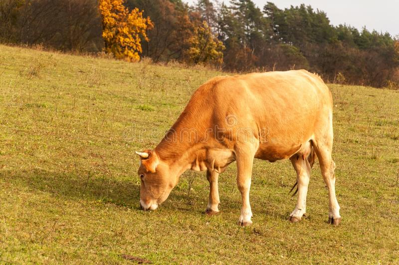 Cows on autumn pasture in the Czech Republic. Country scenery on late autumn season. Cows grazing. Life on the farm. stock image