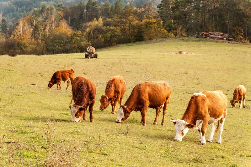 Cows on autumn pasture in the Czech Republic. Country scenery on late autumn season. Cows grazing. Life on the farm. stock photo