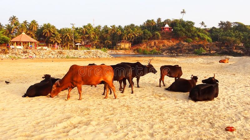 Cows on the beach in India. An amusing trip. Animals on vacation royalty free stock images