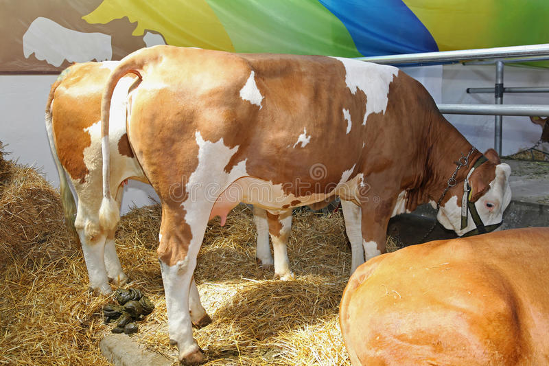 Download Cows stock image. Image of farm, milking, brown, nipples - 33465651