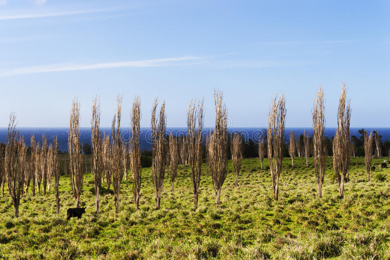Cows on the Big Island Hawaii, grazing amongst the trees stock photo