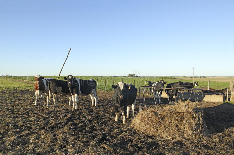 Cows with black and brown stains on the American pampas. The beef cattle industry is one of the most important activities in Latin American countries such as royalty free stock image
