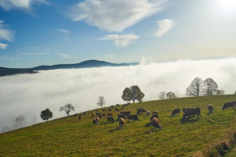 Cows in the Black Forest. Cattle on Black Forest pasture, Southern Germany royalty free stock photos