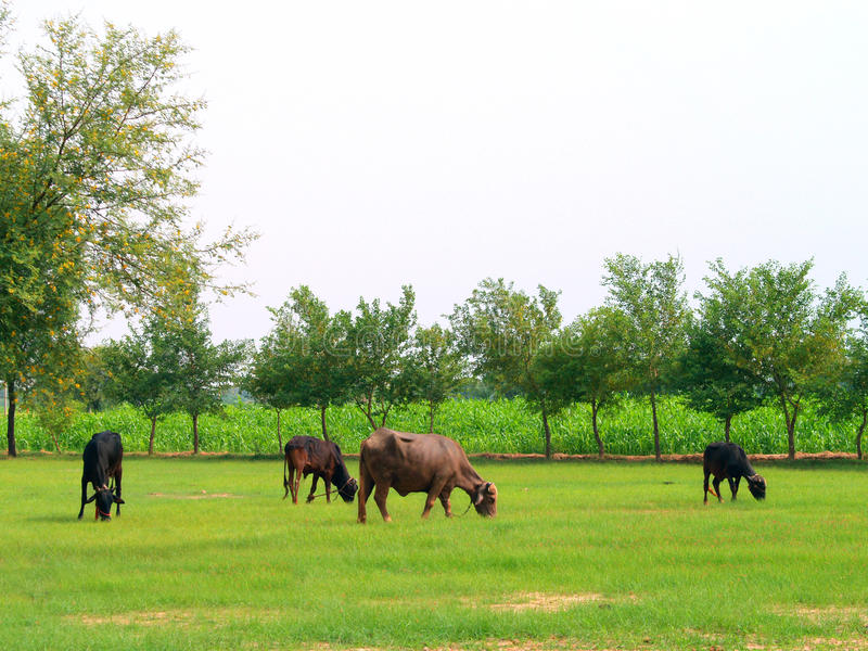 Download Cows And Buffalos In Fields Stock Image - Image: 26592801