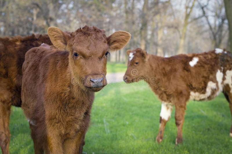 Cows and bulls graze in the green meadow stock images