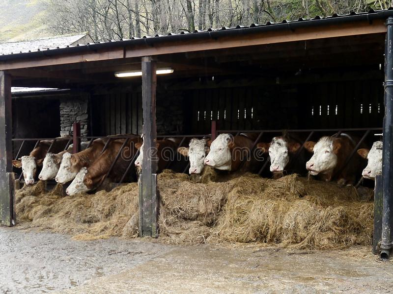 Cows in byre. Cows feeding on hay in their stalls stock image