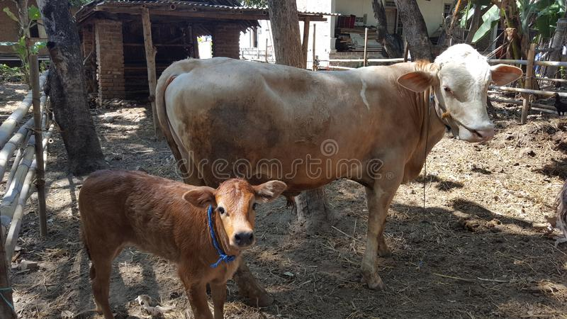 Cows in cages, livestock are easily developed as suppliers of meat for various food. Ingredients such as burgers, barn, brown, farm, animals, mother, feed stock photo
