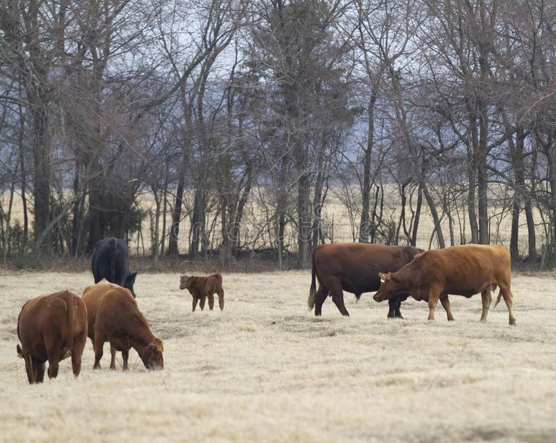 Cows and calf in a winter pasture. Red and black Angus beef cattle in a winter pasture with cows, a calf and a bull, grazing on early spring grass stock photos