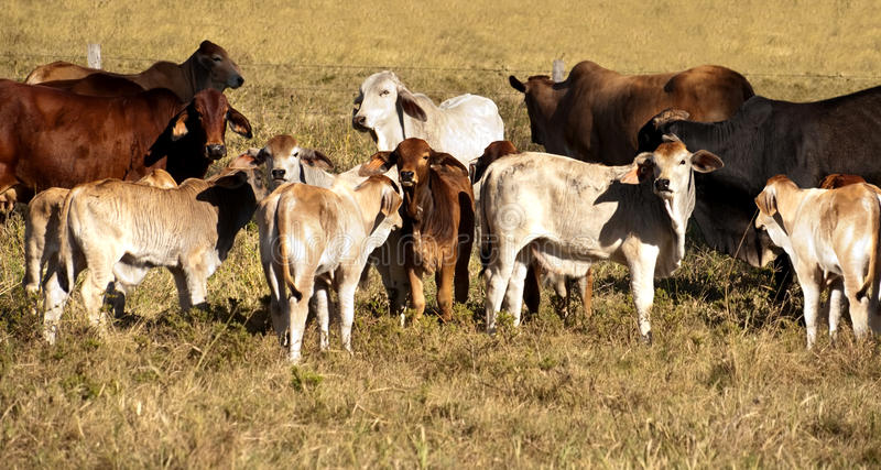 Cows and calves. Australian Beef cattle cows with their calves panorama scene stock photo
