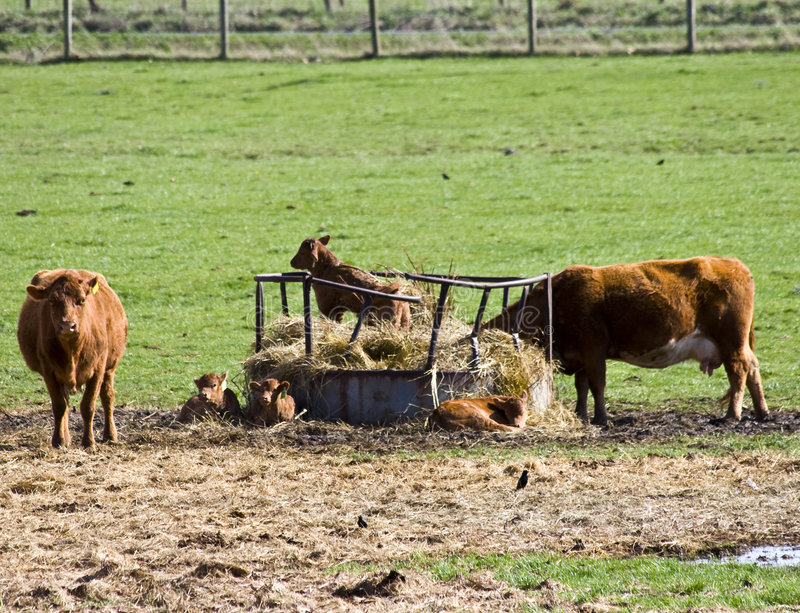 Cows and Calves. Two cows and a calf. A calf sits in the middle of the hay stock images